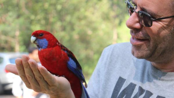 Wild parrots in Victoria, Australia