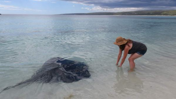 Gentle giants - huge stingrays swim right up to Vanessa's feet in beautiful Hamellin Bay