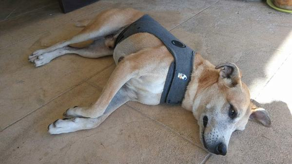Bigdog wearing his thunder shirt. It helped keep him calm when storms were approaching