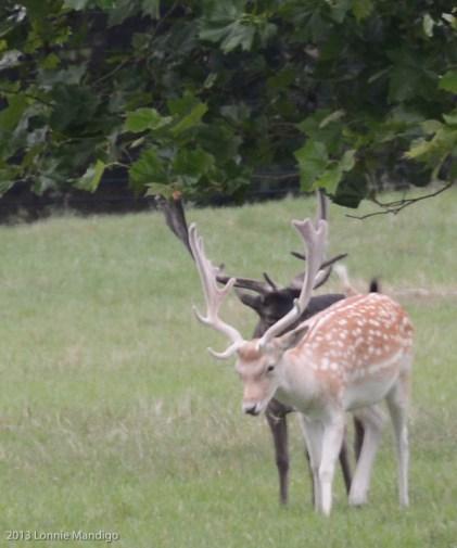 Deer 20130823-12