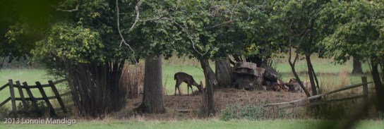 Deer 20130823-17