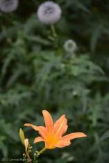 Flower 2013.08.23-21