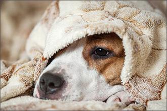 Trauriger Hund unter Decke