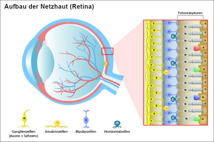 Die schematische Darstellung des Aufbaus des Auges und der Netzhaut