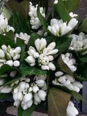 mopana-beautiful-white-snowdrops-01