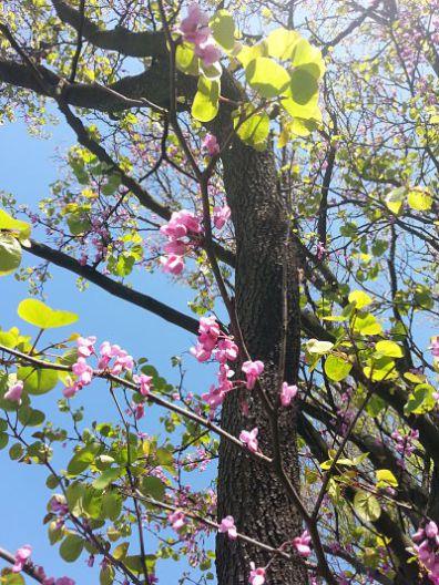 mopana-beautiful-pink-flowers-04
