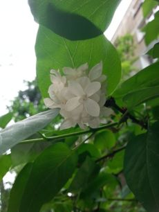 mopana-beautiful-white-lilac-01