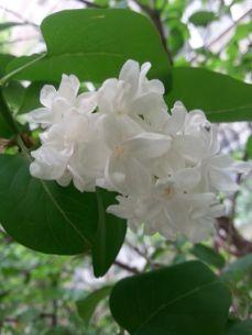 mopana-beautiful-white-lilac-03