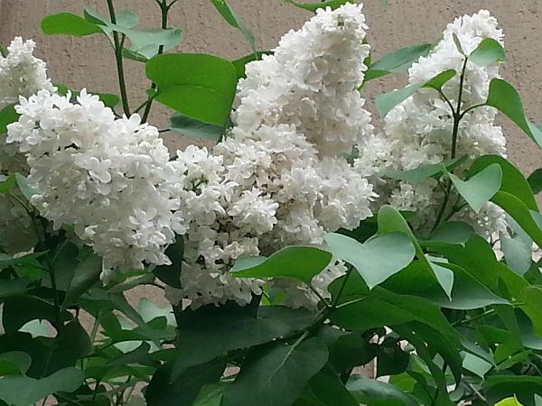 mopana-beautiful-white-lilac-04