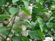 mopana-beautiful-white-lilac-06