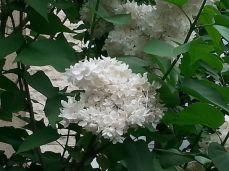 mopana-beautiful-white-lilac-07