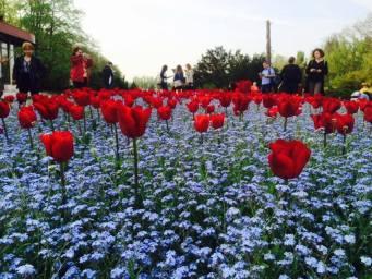 mopana-tulip-02