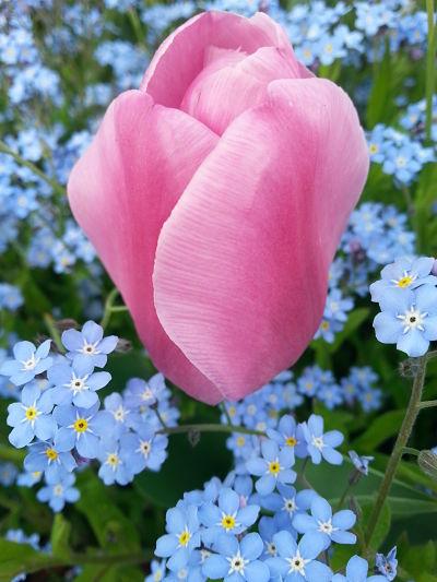 mopana-tulip-09