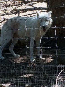 mopana-the- white-wolf-03