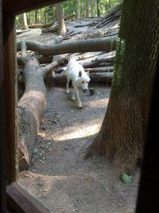 mopana-the- white-wolf-05