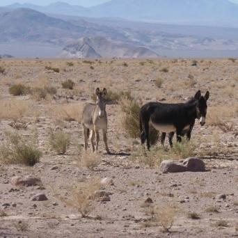 Los burros