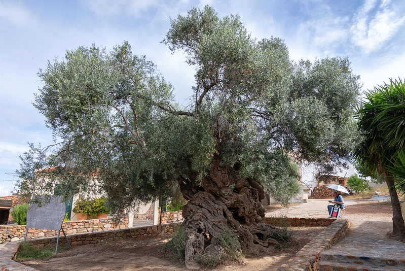 olive tree of Vouves things to do in Chania