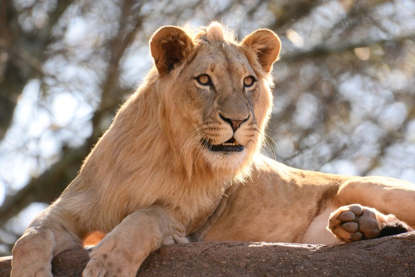 A beautiful 'male lion' at Zoo Atlanta