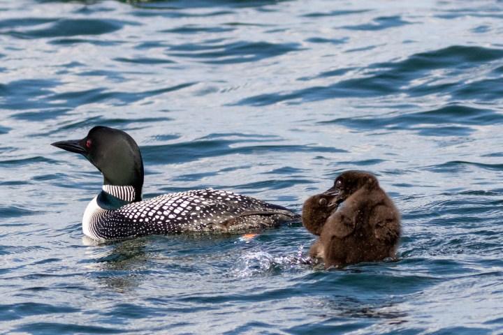 LMG 26278 Lake Tomahawk Kemp Rehab Chick Release