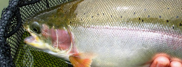 Roche Lake rainbow trout :: The LOONS Flyfishing Club