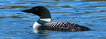 Common loon on Roche Lake by Richard Mayer :: The LOONS Flyfishing Club