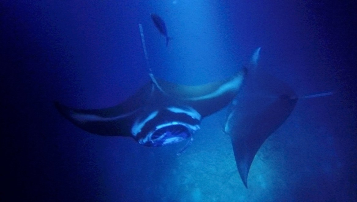 More mantas join the dance