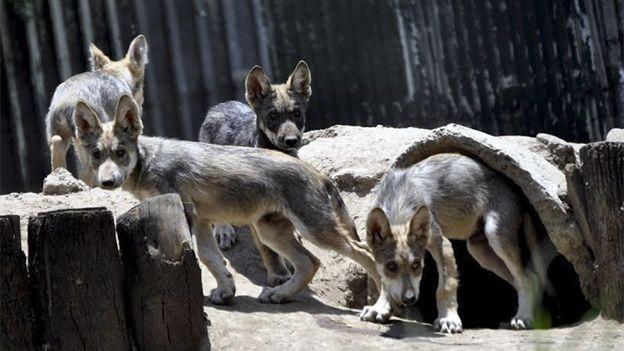 Cinco crías de lobo mexicano nacen en el Zoológico de San Juan de Aragón - Cuarto Oscuro