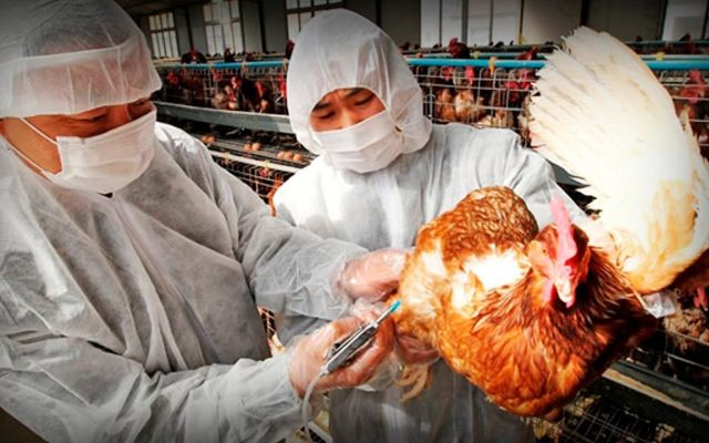 Nueva cepa de gripe aviar amenaza a Europa - Internet