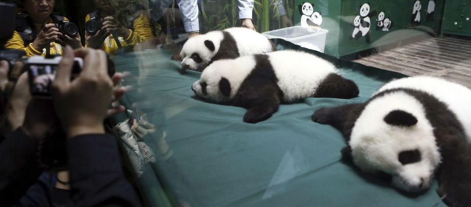 Dan de alta a pandas trillizos en China - Foto de AP