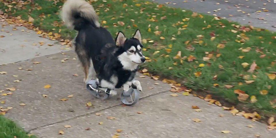 Prótesis impresa en 3D le devuelve movilidad a un perro - Internet