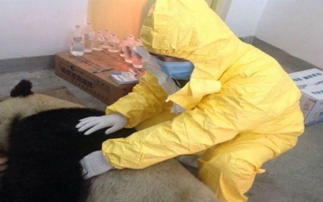 Muere cuarto panda gigante de moquillo - cuarto panda muerto moquillo_spanish china