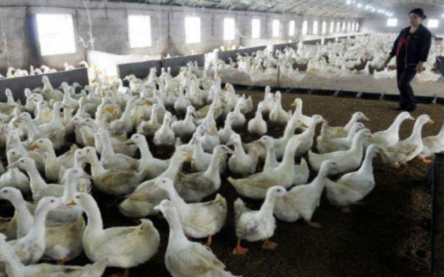 Montan cerco en granja de Sinaloa por gripe aviar - México prohíbe ingreso de pollo de EE. UU. por gripe aviar