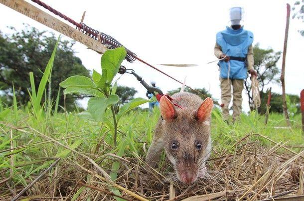 Usan ratas para desenterrar bombas - Usan ratas para desenterrar bombas