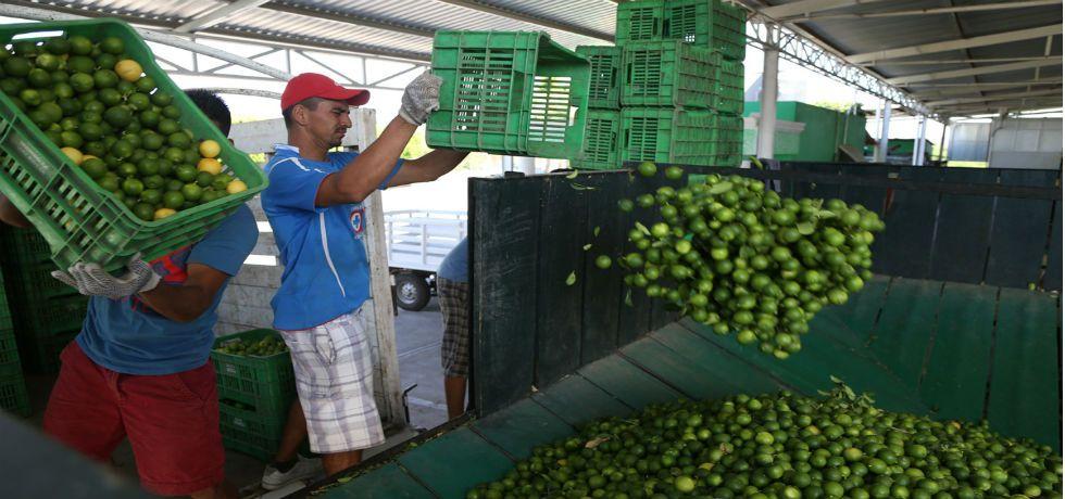 Se reactiva producción de aguacate y limón en Michoacán