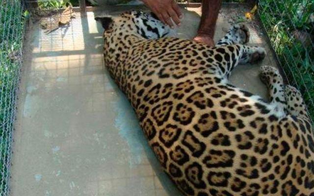 PROFEPA rescata jaguar en Oaxaca - PROFEPA rescata jaguar en Oaxaca