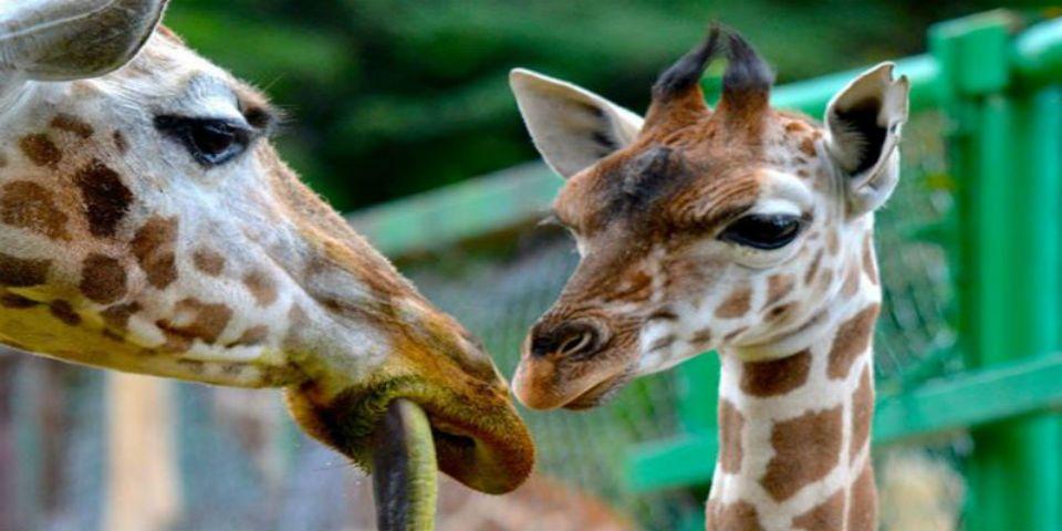 Buscan nombre para una jirafa bebé en el Estado de México - Foto del Zoológico de Zacango.