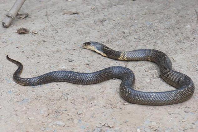 Encuentran cobra que habría matado a joven en Austin - Foto de New York Daily News