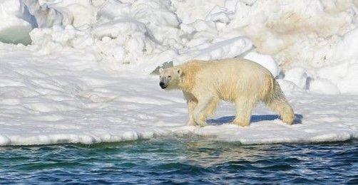 Osos polares impiden investigación de WWF en el Ártico - Foto de AP