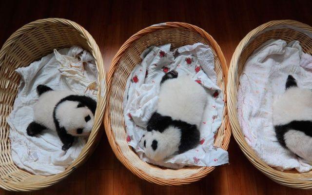 Presentan 10 nuevos pandas bebés en China - Foto de Getty Images