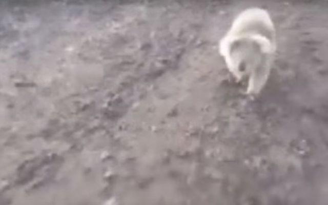 Video: koala persigue a ganadera - Foto de YouTube