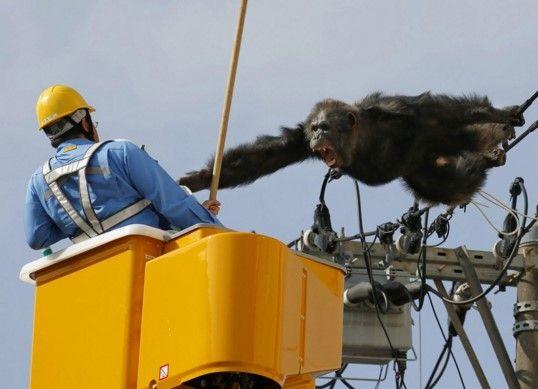 Video: chimpancé huyó de zoológico trepando los cables