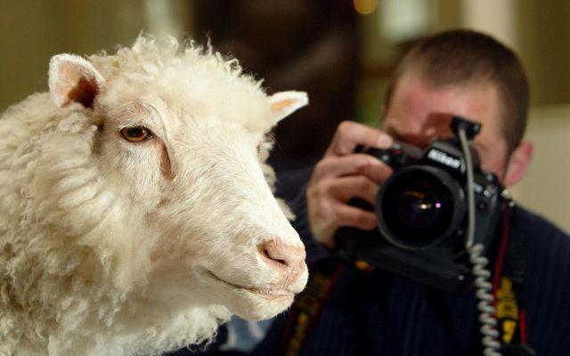 A veinte años de la oveja Dolly - Foto de AFP.