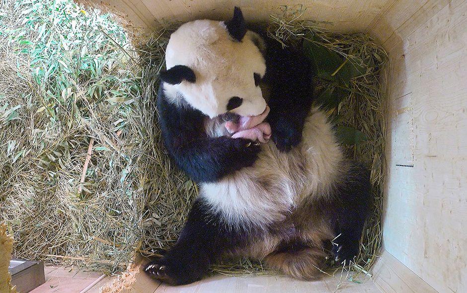 Panda tiene mellizos en zoológico de Viena