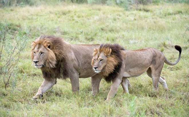 A leonas les crece melena y comienzan a comportarse como leones