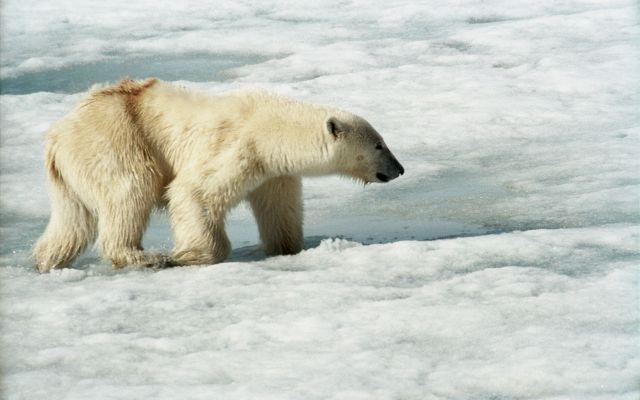 Osos polares mantienen atrapados a científicos rusos
