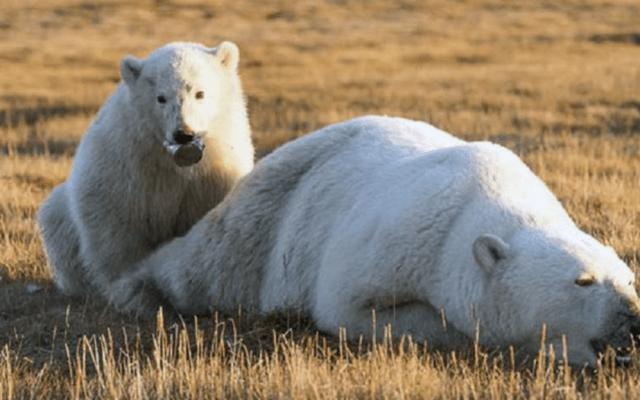Cachorro de oso polar no pudo comer debido a una lata en su hocico