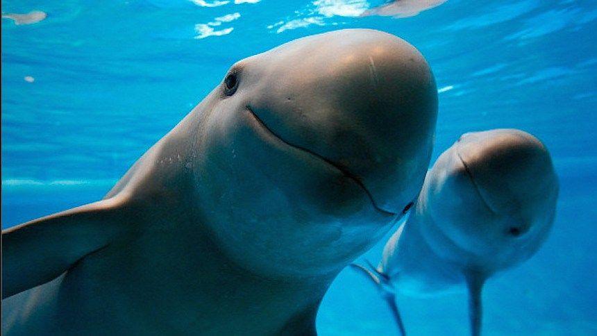 Vaquitas marinas. Foto de AP