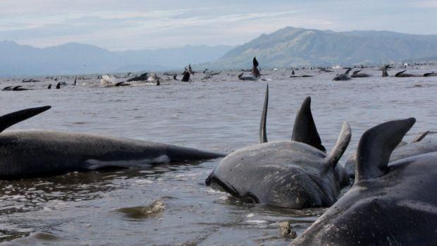 Encuentran 400 ballenas varadas en playa de Nueva Zelanda - Foto de Stuff