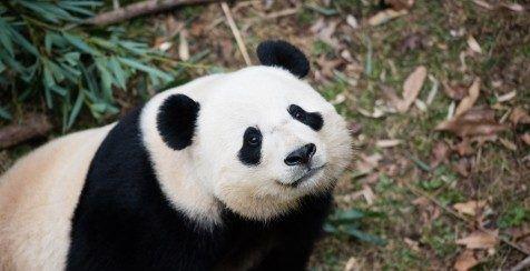 Envían a panda gigante por paquetería a China - Foto de The Washington Post