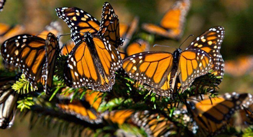 Migración de la mariposa monarca | La Verdad Noticias